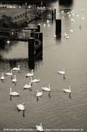 Meeting point of the swans